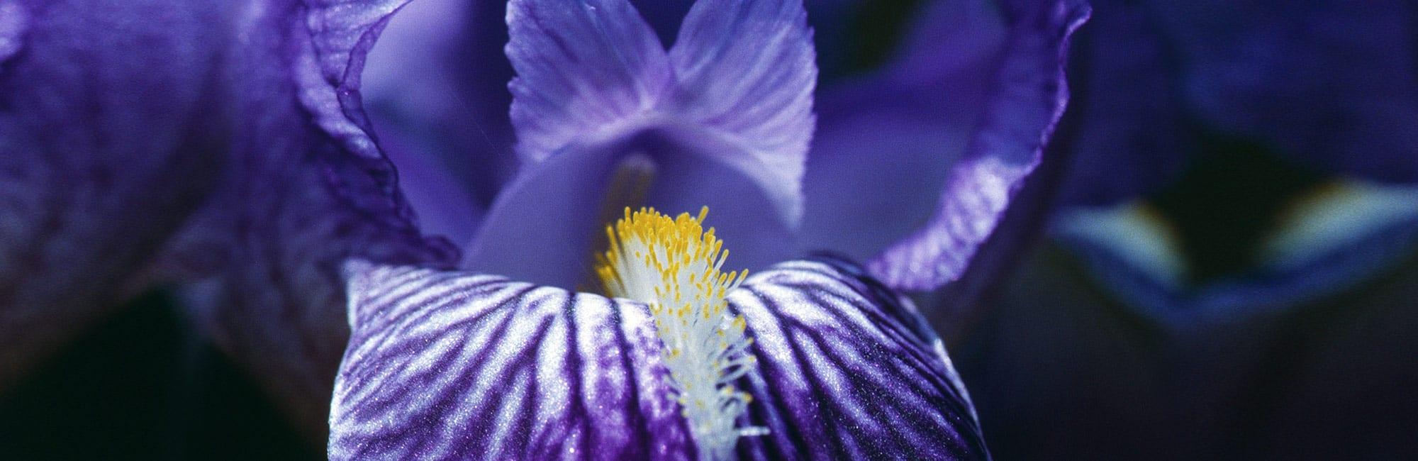 01-Schwertlilie-blau-Blume-Naturheilpraxis-Margret-Madejsky-Muenchen