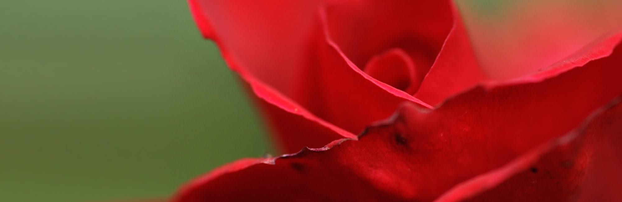 03-Rose-Natur-Naturheilpraxis-Margret-Madejsky-Muenchen